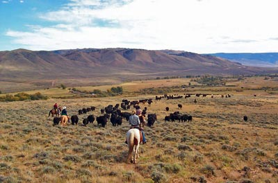 Driving cattle down from the forest to Hohnholz Ranch